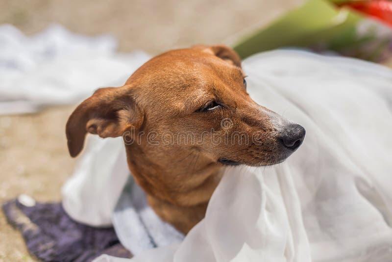 Netter Hund mit einem Tuch über seiner Mündung am Strand im Sommer stockbilder