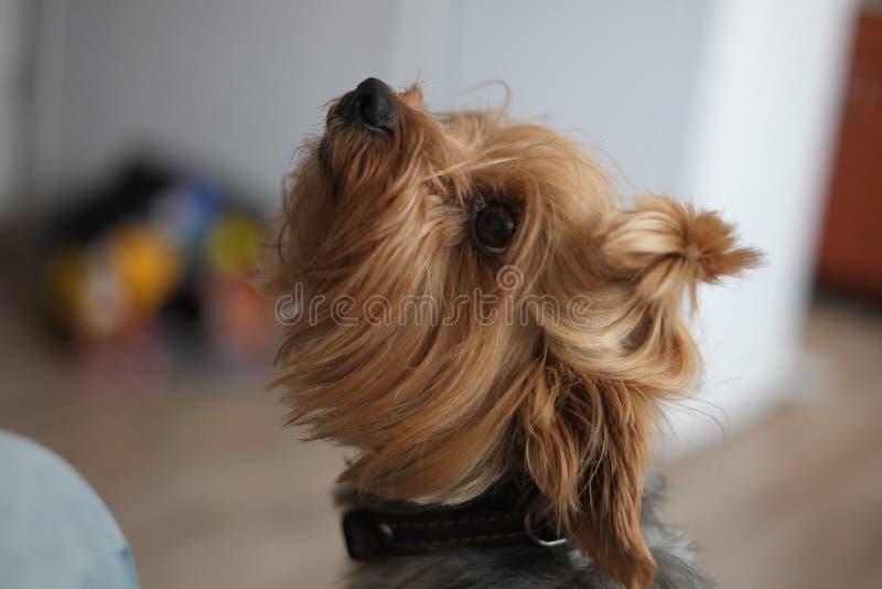 Netter Hund, zum um des Blickes zu bitten, um auf eine Lektion zu warten, um nicht wegzulaufen liebevolles spielerisches gutes lizenzfreies stockfoto