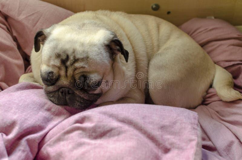 Netter Hunderasse Pug, der nach einem bequemen Platz für das Schlafen sucht lizenzfreies stockbild