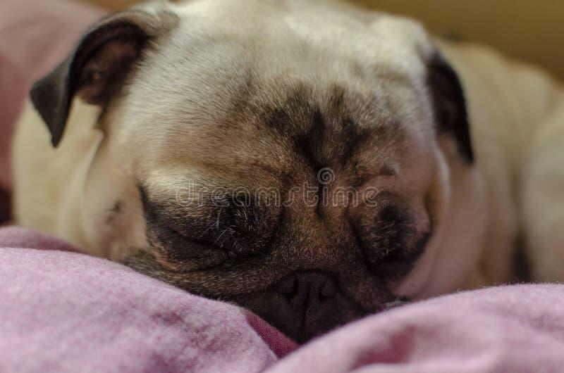 Netter Hunderasse Pug Suchen nach einem bequemen Platz für das Schlafen lizenzfreie stockfotografie