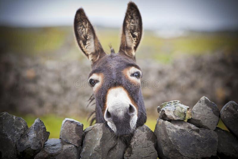 Netter irischer Esel hinter einer Steinwand lizenzfreies stockbild