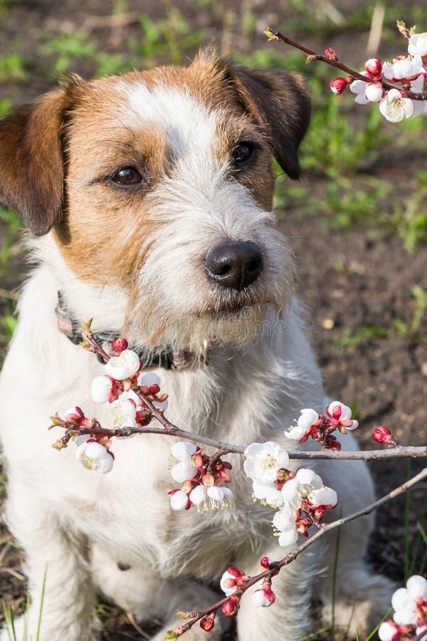 Netter Jack Russell Terrier mit den spitzen Ohren sitzt mit einer losen Niederlassung der Aprikose im englischen Wald im Frühjahr stockfotografie