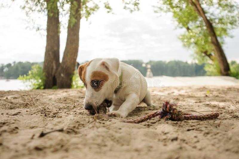 Netter Jack Russell Terrier-Welpe, der ein Seil auf dem Strand kaut lizenzfreies stockfoto