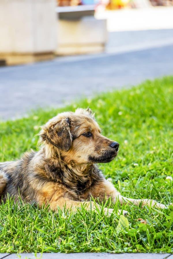 Netter jugendlicher streunender Hund, der auf einem Rasen liegt lizenzfreie stockfotografie