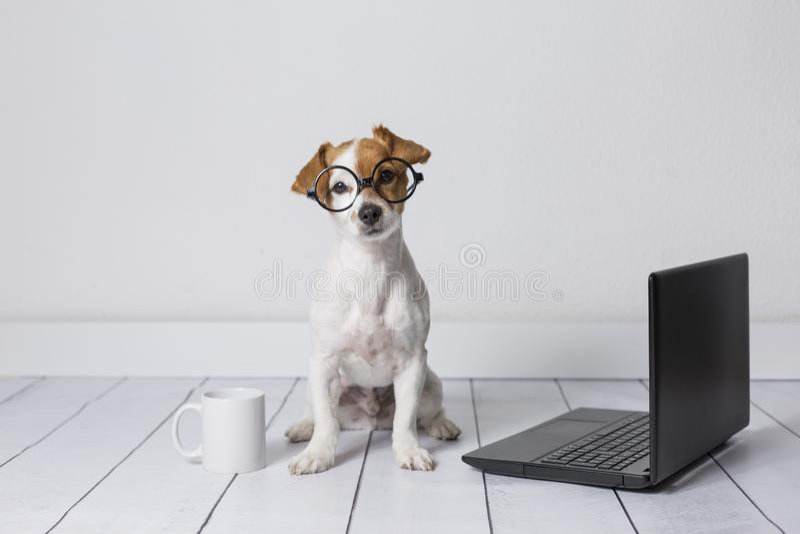 Netter junger kleiner Hund, der auf dem Boden sitzt und an Laptop arbeitet Tragende Gl?ser und Tasse Tee oder Kaffee au?er ihm ha stockbilder