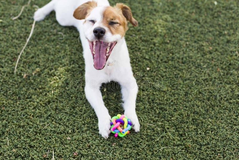 Netter junger kleiner Hund, der mit seinem Spielzeug, ein Ball spielt und betrachtet stockbild