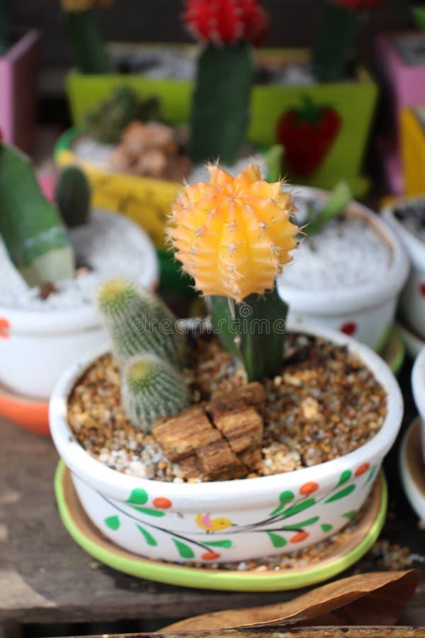 Netter Kaktus in meinem Garten, gelber Kaktus sind schön lizenzfreies stockbild