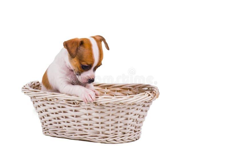 Netter kleiner Chihuahuawelpe, der in einem weißen Korb sitzt stockfotos