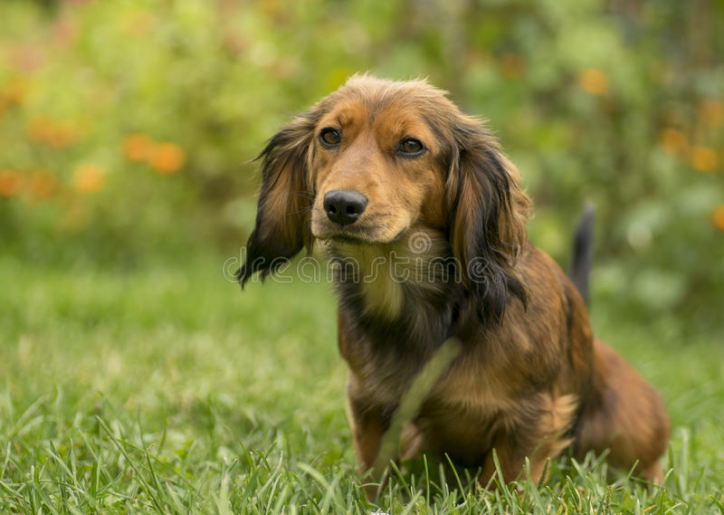 Netter kleiner Dachshundhund im Gras lizenzfreies stockfoto