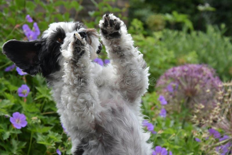 Netter kleiner Hund mit großen Augen und den Fliegenohren bitten um Festlichkeiten stockfotografie