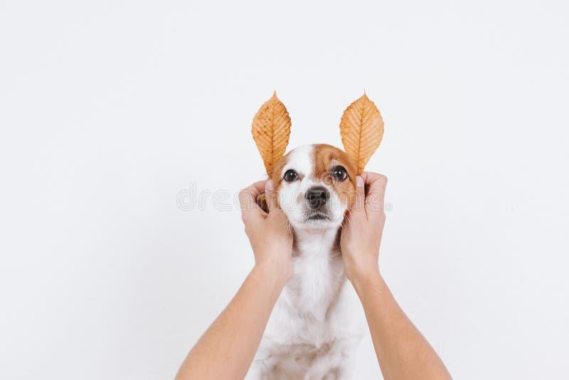 netter kleiner Hund mit lustigen Herbstbraunblättern für Ohren Hund, der die Kamera betrachtet Haustiere zuhause stockfotos