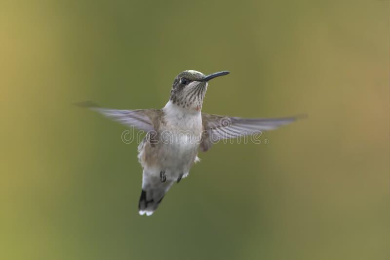 Netter kleiner jugendlicher männlicher Kolibri im Flug stockfoto