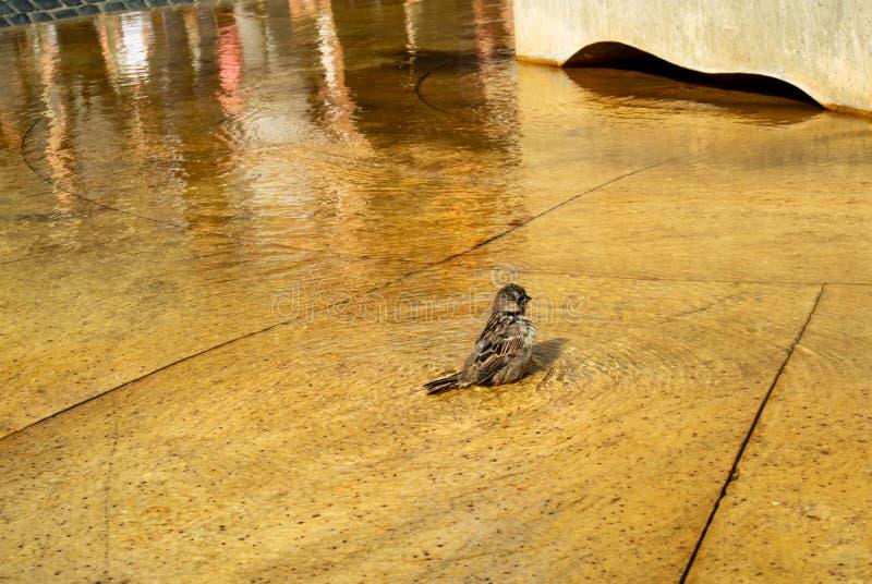 Netter kleiner Spatz nimmt ein Bad in einem Stadtbrunnen stockfotos