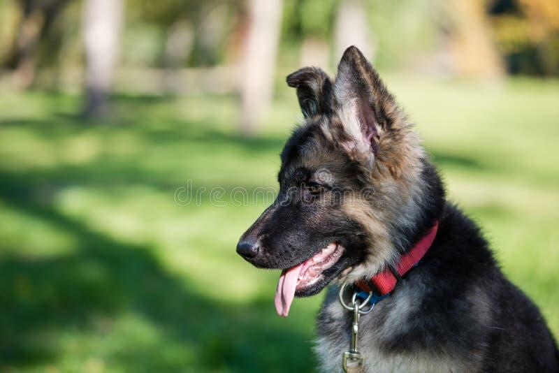 Netter kleiner Welpenhaustier-Schäferhund draußen stockfotos