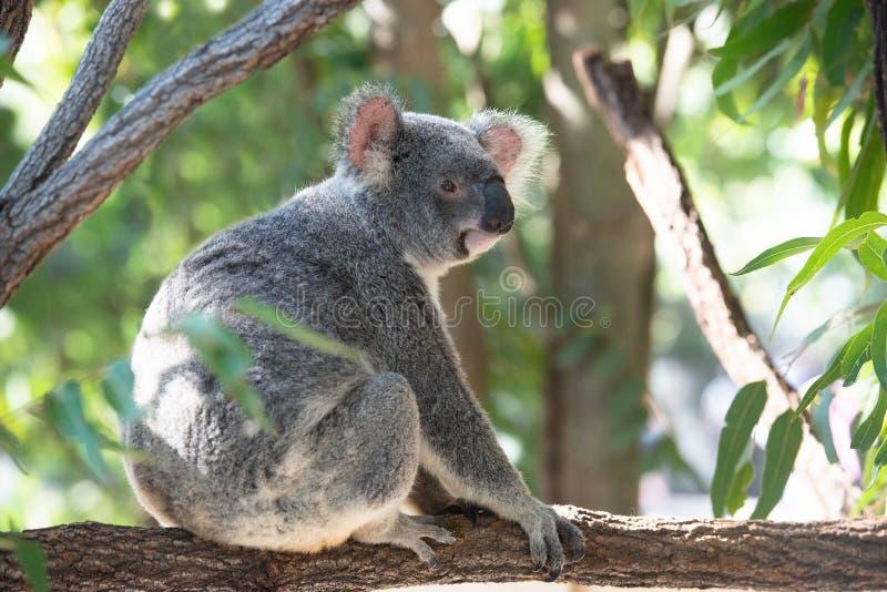 Netter Koala auf einer Niederlassung lizenzfreies stockfoto