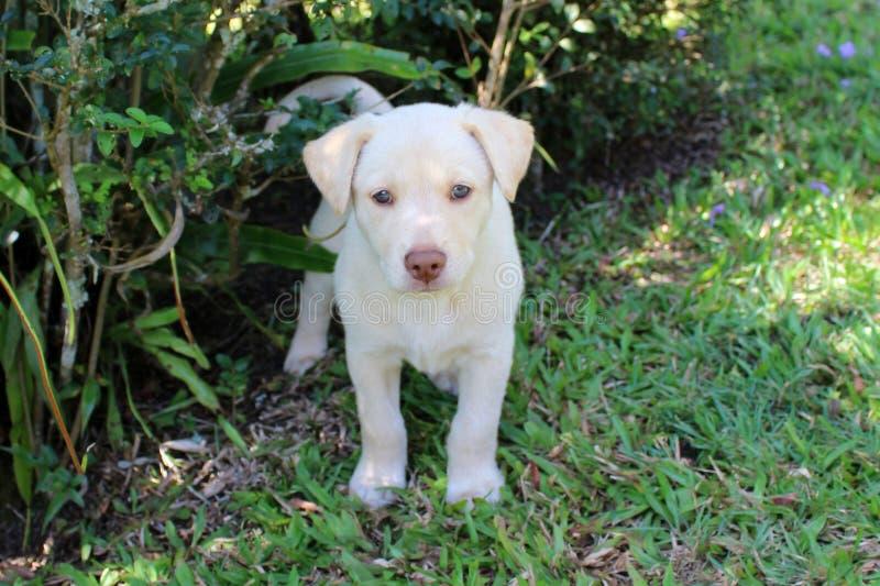 Netter Labrador-Apportierhundwelpe lizenzfreie stockfotografie