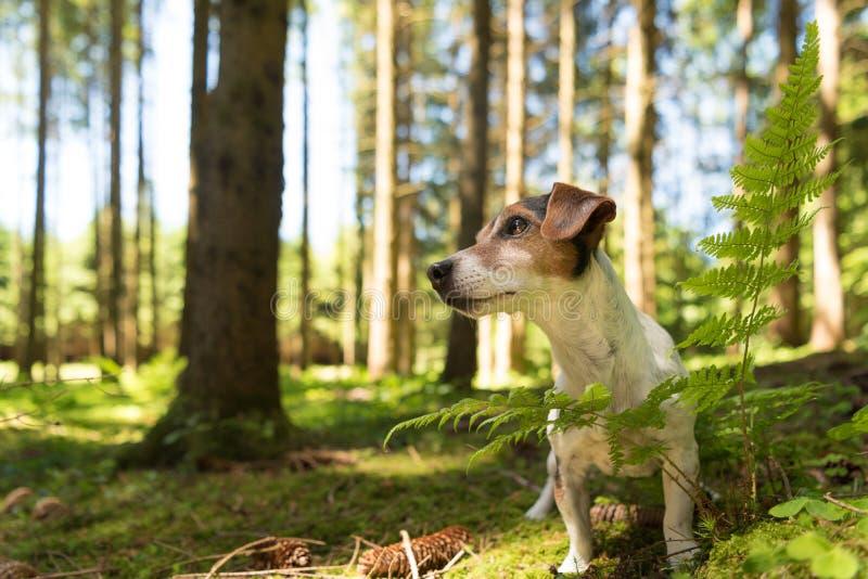 Netter lustiger Jack Russell Terrier-Hund sitzt ergeben in einem sonnigen Wald stockfoto