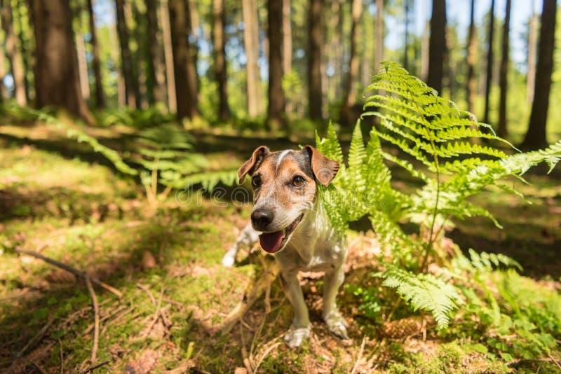Netter lustiger Jack Russell Terrier-Hund sitzt ergeben in einem sonnigen Wald lizenzfreies stockfoto