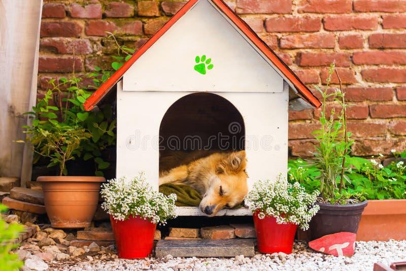 Netter Mischzuchthund, der in einer Hundehütte schläft lizenzfreies stockfoto