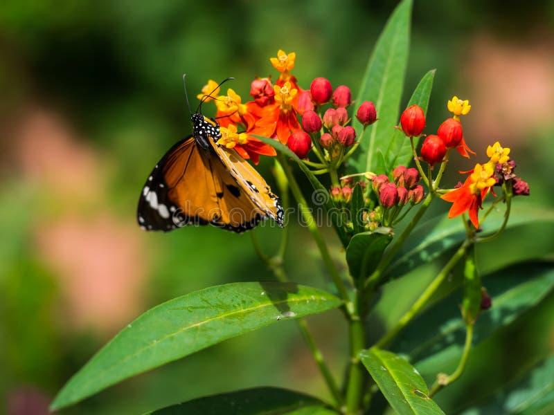Netter Moment des orange Schmetterlinges den Blütenstaub beim Klettern essend stockfotos