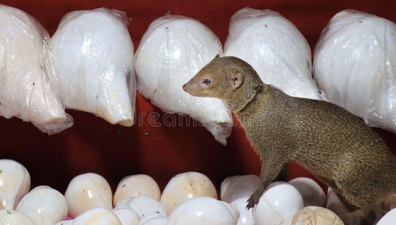 Netter Mungo Mungo in einem Geschäft stockfotografie