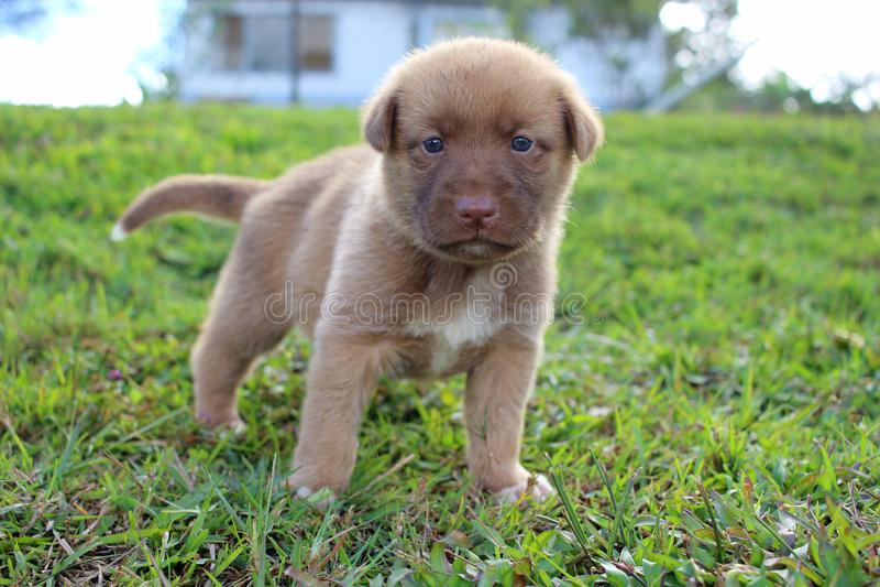 Netter Neu-Guinea Gesang-Hundewelpe stockbilder