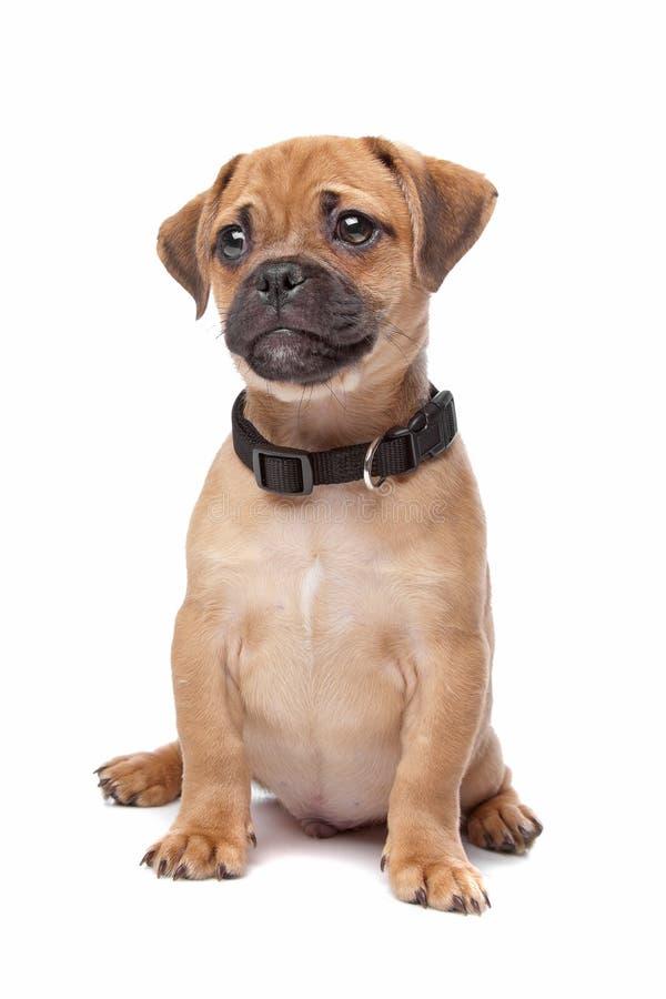 Netter nicht reinrassiger Hundewelpe stockbilder