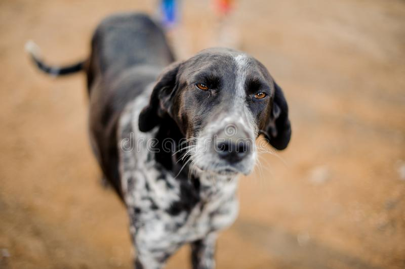 Netter obdachloser Schwarzweiss-Hund, der die Kamera verengt Augen betrachtet stockfoto