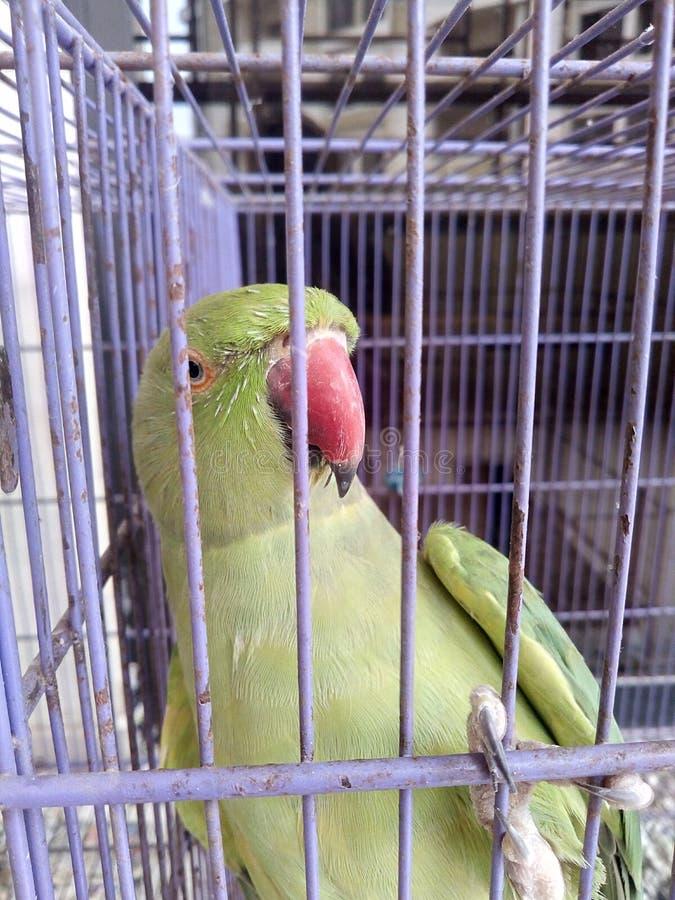 Netter Papagei lizenzfreie stockfotos