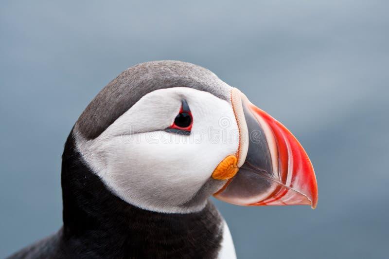 Netter Papageientauchervogelabschluß herauf Portrait stockbild