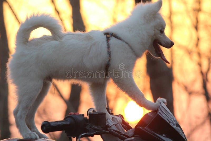 Netter parmenion Hund auf Fahrrad von Indien stockfoto