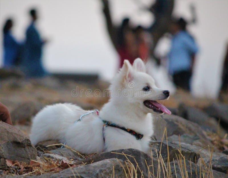 Netter parmenion Hund, der im Park von Indien spielt lizenzfreies stockfoto