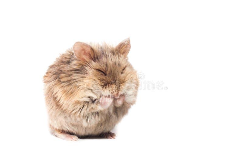 Netter pelzartiger kleiner Zwergcampbell-Hamster in einem Studio, das, lustige Haltung sich säubert lizenzfreie stockfotos