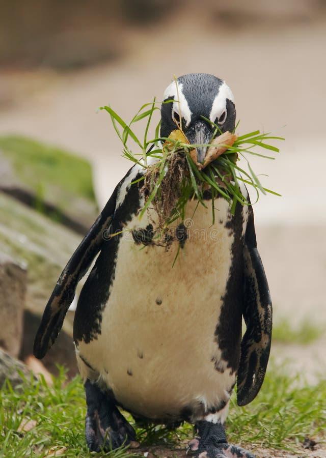 Netter Pinguin lizenzfreie stockfotografie