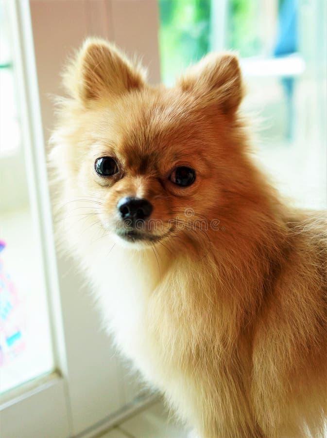 Netter Pomeranian Welpe lizenzfreie stockbilder