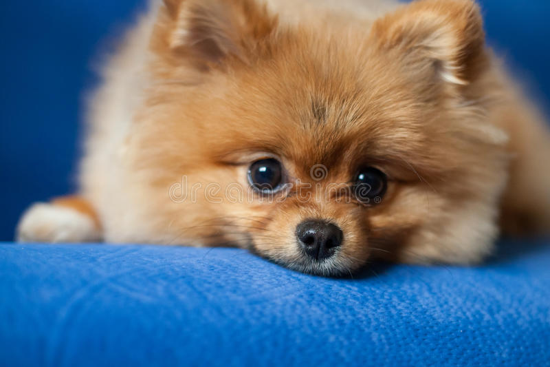 Netter Pomeranian-Welpe auf einem blauen Hintergrund lizenzfreies stockbild