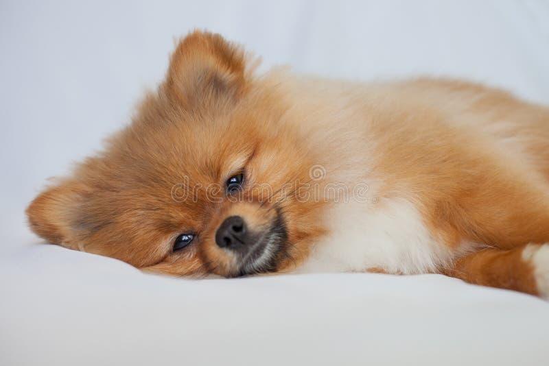 Netter Pomeranian-Welpe, der auf weiße backgroundlies schläft stockbild