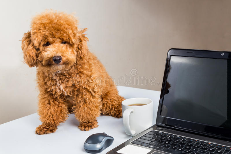 Netter Pudelwelpe, der auf Schreibtisch mit Laptop-Computer sitzt stockfoto
