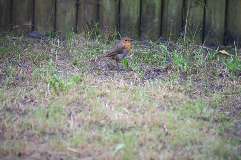 Netter Robin, der im Garten stillsteht stockfoto