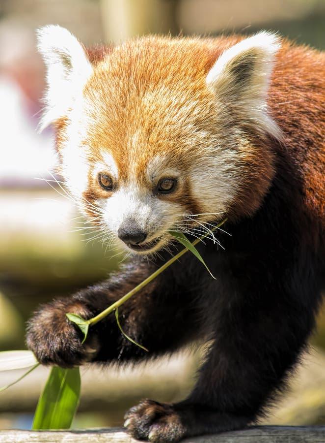 Netter roter Panda lizenzfreies stockbild