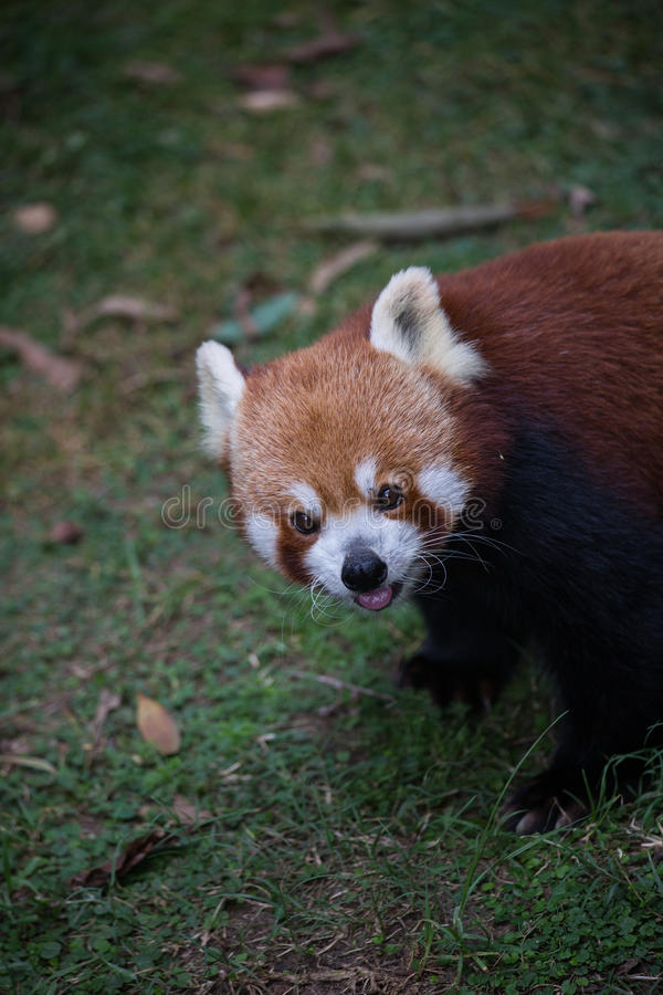 Netter roter Panda lizenzfreies stockfoto