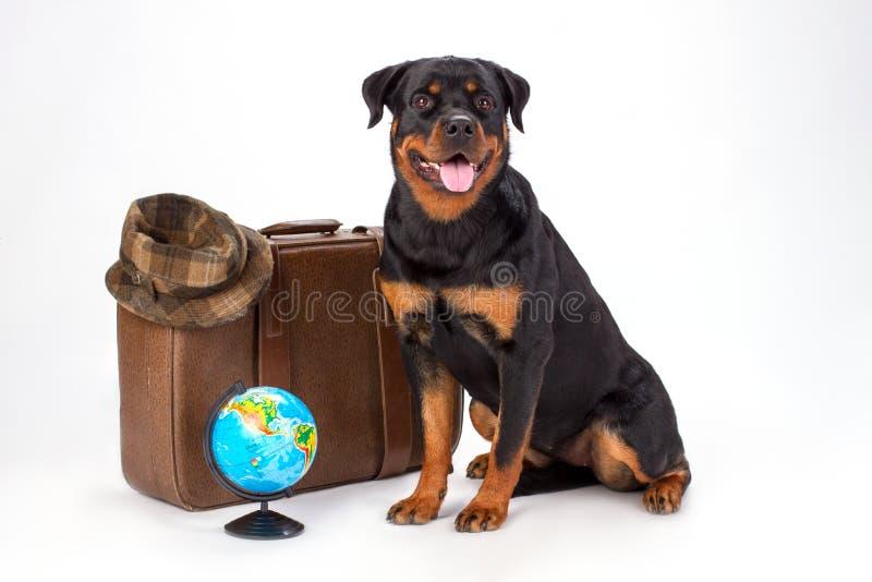 Netter rottweiler Hund mit Reise valise lizenzfreies stockfoto