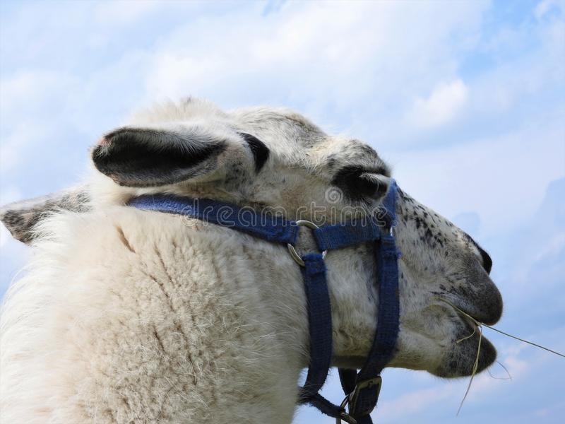 Netter schicker Alpakafrisurabschluß herauf Porträt auf sauberem Hintergrund stockbilder