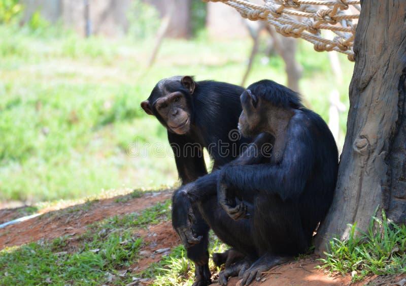 Netter Schimpanse stockfoto