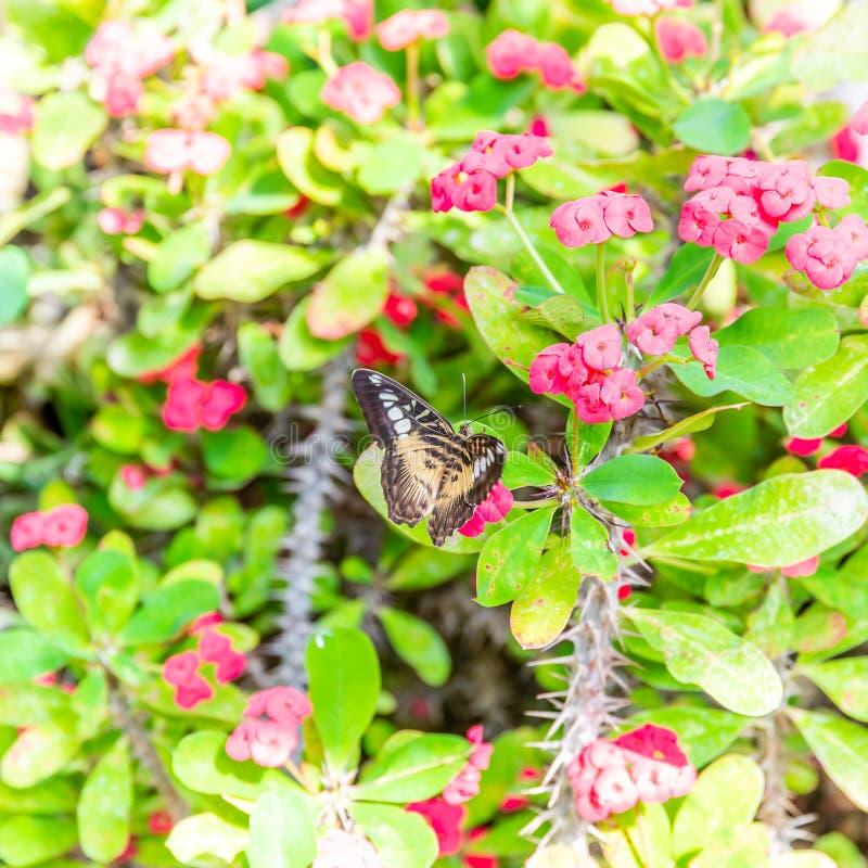 Netter Schmetterling gehockt auf rosa Blumen mit den Dornen auf Stämmen lizenzfreies stockfoto