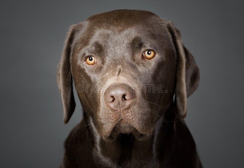 Netter Schokoladen-Labrador-Welpe lizenzfreie stockbilder
