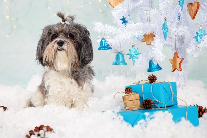 Schwarz Havanese Grauer Hund Mit Dem Weiß Netter Bichon q4jA53RL