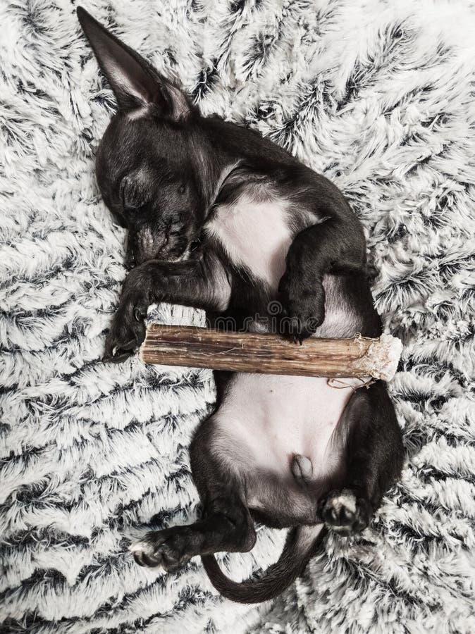 Netter schwarzer Babychihuahuahund, der im Bett mit dem Kauen des Stockes schläft stockfoto