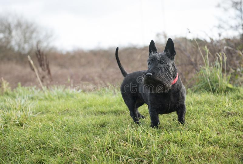 Netter schwarzer Scottish-Terrier-Hund auf grünem Gras stockfotografie