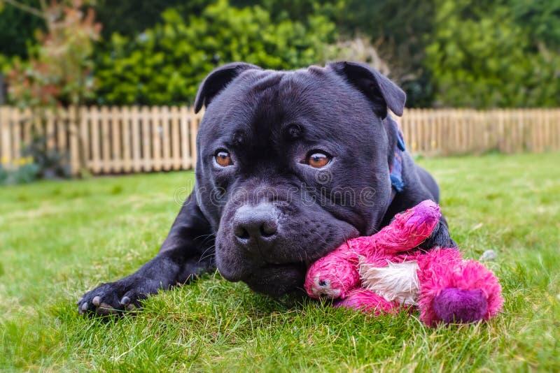 Netter schwarzer Staffordshire-Bullterrierhund, der auf der Grasaußenseite vor einem Palisadenzaun liegt Er kaut ein rosa Spielze stockfotografie